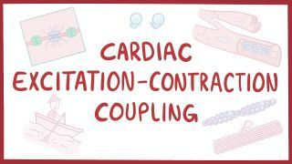 Video poster for Cardiac excitation-contraction coupling