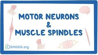 Video poster for Motor neurons and muscle spindles