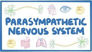 Video poster for Parasympathetic nervous system