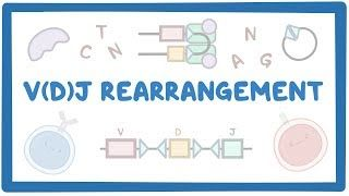 Video poster for VDJ rearrangement
