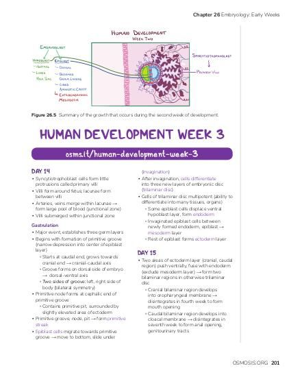 Chapter 26 Embryology: Early Weeks  Figure 26.5 Summary of the growth that occurs during the second week of development.  HUMAN DEVELOPMENT WEEK 3 osms.it/human-development-week-3 DAY 14  ▪ Syncytiotrophoblast cells form little protrusions called primary villi ▪ Villi form around fetus; lacunae form between villi ▪ Arteries, veins merge within lacunae → form large pool of blood ( junctional zone) ▪ Villi submerged within junctional zone  Gastrulation ▪ Major event, establishes three germ layers ▪ Begins with formation of primitive groove (narrow depression into center of epiblast layer) ▫ Starts at caudal end, grows towards cranial end → cranial-caudal axis ▫ Groove forms on dorsal side of embryo → dorsal-ventral axis ▫ Two sides of groove: left, right side of body (bilateral symmetry) ▪ Primitive node forms at cephalic end of primitive groove ▫ Contains primitive pit, surrounded by slightly elevated area of ectoderm ▪ Primitive groove, node, pit → form primitive streak ▪ Epiblast cells migrate towards primitive groove → move to bottom, slide under  (invagination) ▪ After invagination, cells differentiate into three new layers of embryonic disc (trilaminar disc) ▪ Cells of trilaminar disc multipotent (ability to differentiate into many tissues, organs) ▫ Some epiblast cells displace ventral hypoblast layer, form endoderm ▫ Invaginated epiblast cells between newly formed endoderm, epiblast → mesoderm layer ▫ Rest of epiblast forms ectoderm layer  DAY 15  ▪ Two areas of ectoderm layer (cranial, caudal region) push ventrally, fuse with endoderm (exclude mesoderm layer) → form two bilaminar regions in otherwise trilaminar disc ▫ Cranial bilaminar region develops into oropharyngeal membrane → disintegrates in fourth week to form mouth opening ▫ Caudal bilaminar region develops into cloacal membrane → disintegrates in seventh week to form anal opening, genitourinary tracts  OSMOSIS.ORG 201