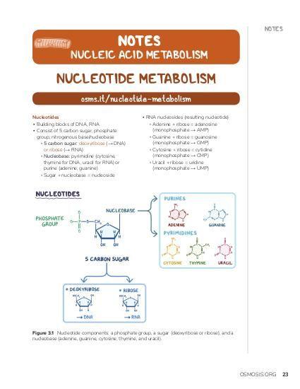 NOTES NOTES  NUCLEIC ACID METABOLISM  NUCLEOTIDE METABOLISM osms.it/nucleotide-metabolism Nucleotides ▪ Building blocks of DNA, RNA ▪ Consist of 5 carbon sugar, phosphate group, nitrogenous base/nucleobase ▫ 5 carbon sugar: deoxyribose (→ DNA) or ribose (→ RNA) ▫ Nucleobase: pyrimidine (cytosine, thymine for DNA, uracil for RNA) or purine (adenine, guanine) ▫ Sugar + nucleobase = nucleoside  ▪ RNA nucleosides (resulting nucleotide) ▫ Adenine + ribose = adenosine (monophosphate → AMP) ▫ Guanine + ribose = guanosine (monophosphate → GMP) ▫ Cytosine + ribose = cytidine (monophosphate → CMP) ▫ Uracil + ribose = uridine (monophosphate → UMP)  Figure 3.1 Nucleotide components: a phosphate group, a sugar (deoxyribose or ribose), and a nucleobase (adenine, guanine, cytosine, thymine, and uracil).  OSMOSIS.ORG  23