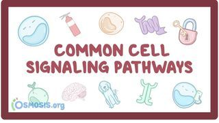 Video poster for Cell signaling pathways