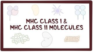 Video poster for MHC class I and MHC class II molecules