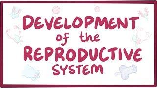 Video poster for Development of the reproductive system
