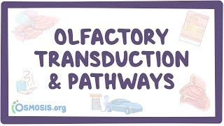 Video poster for Olfactory transduction and pathways
