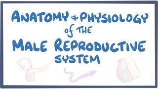 Video poster for Anatomy and physiology of the male reproductive system