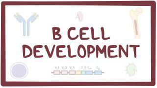 Video poster for B cell development