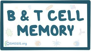 Video poster for B and T cell memory
