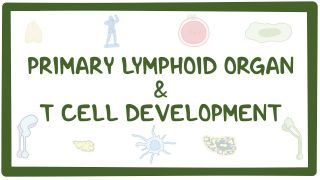 Video poster for T cell development