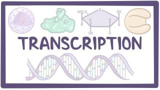 Video poster for Transcription of DNA