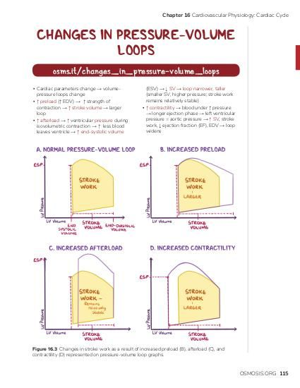 Chapter 16 Cardiovascular Physiology: Cardiac Cycle  CHANGES IN PRESSURE-VOLUME LOOPS osms.it/changes_in_pressure-volume_loops ▪ Cardiac parameters change → volumepressure loops change ▪ ↑ preload (↑ EDV) → ↑ strength of contraction → ↑ stroke volume → larger loop ▪ ↑ afterload → ↑ ventricular pressure during isovolumetric contraction → ↑ less blood leaves ventricle → ↑ end-systolic volume  (ESV) → ↓ SV → loop narrower, taller (smaller SV, higher pressure; stroke work remains relatively stable) ▪ ↑ contractility → blood under ↑ pressure → longer ejection phase → left ventricular pressure = aortic pressure → ↑ SV, stroke work, ↓ ejection fraction (EF), EDV → loop widens  Figure 16.3 Changes in stroke work as a result of increased preload (B), afterload (C), and contractility (D) represented on pressure-volume loop graphs.  OSMOSIS.ORG 115