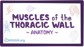 Video poster for Muscles of the thoracic wall