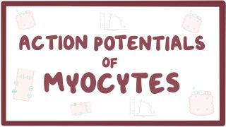 Video poster for Action potentials in myocytes