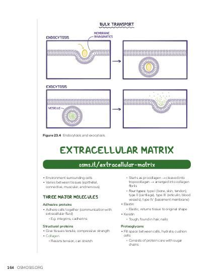Figure 23.4 Endocytosis and exocytosis.  EXTRACELLULAR MATRIX osms.it/extracellular-matrix ▪ Environment surrounding cells ▪ Varies between tissues (epithelial, connective, muscular, and nervous)  THREE MAJOR MOLECULES Adhesive proteins ▪ Adhere cells together (communication with extracellular fluid) ▫ E.g. integrins, cadherins Structural proteins ▪ Give tissues tensile, compressive strength ▪ Collagen ▫ Resists tension, can stretch  164 OSMOSIS.ORG  ▫ Starts as procollagen → cleaved into tropocollagen → arranged into collagen fibrils ▫ Four types: type I (bone, skin, tendon), type II (cartilage), type III (reticulin, blood vessels), type IV (basement membrane) ▪ Elastin ▫ Elastic, returns tissue to original shape ▪ Keratin ▫ Tough, found in hair, nails Proteoglycans ▪ Fill space between cells, hydrate, cushion cells ▫ Consists of protein core with sugar chains