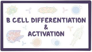 Video poster for B cell activation and differentiation