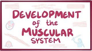 Video poster for Development of the muscular system