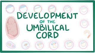 Video poster for Development of the umbilical cord