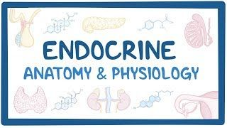 Video poster for Endocrine anatomy and physiology