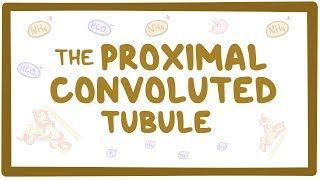 Video poster for Proximal convoluted tubule