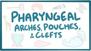 Video poster for Pharyngeal arches, pouches, and clefts