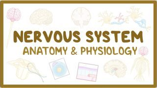 Video poster for Nervous system anatomy and physiology