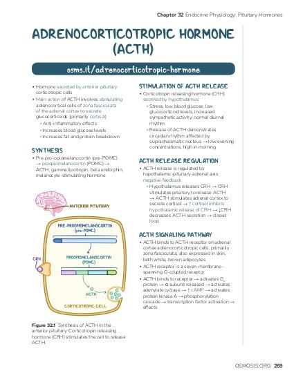Chapter 32 Endocrine Physiology: Pituitary Hormones  ADRENOCORTICOTROPIC HORMONE (ACTH) osms.it/adrenocorticotropic-hormone ▪ Hormone secreted by anterior pituitary corticotropic cells ▪ Main action of ACTH involves stimulating adrenocortical cells of zona fasciculata of the adrenal cortex to secrete glucocorticoids (primarily cortisol) ▫ Anti-inflammatory effects ▫ Increases blood glucose levels ▫ Increases fat and protein breakdown  SYNTHESIS  ▪ Pre-pro-opiomelanocortin (pre-POMC) → proopiomelanocortin (POMC) → ACTH, gamma lipotropin, beta endorphin, melanocyte-stimulating hormone  STIMULATION OF ACTH RELEASE  ▪ Corticotropin releasing hormone (CRH) secreted by hypothalamus ▫ Stress, low blood glucose, low glucocorticoid levels, increased sympathetic activity, normal diurnal rhythm ▫ Release of ACTH demonstrates circadian rhythm affected by suprachiasmatic nucleus → low evening concentrations, high in morning  ACTH RELEASE REGULATION  ▪ ACTH release is regulated by hypothalamic-pituitary-adrenal axis negative feedback ▫ Hypothalamus releases CRH → CRH stimulates pituitary to release ACTH → ACTH stimulates adrenal cortex to secrete cortisol → ↑ cortisol inhibits hypothalamic release of CRH → ↓CRH decreases ACTH secretion → closed loop  ACTH SIGNALING PATHWAY  ▪ ACTH binds to ACTH receptor on adrenal cortex adrenocorticotropic cells, primarily zona fasciculata; also expressed in skin, both white, brown adipocytes ▪ ACTH receptor is a seven-membranespanning G-coupled receptor ▪ ACTH binds to receptor → activates Gs protein → α subunit released → activates adenylate cyclase → ↑ cAMP → activates protein kinase A → phosphorylation cascade → transcription factor activation → effects  Figure 32.1 Synthesis of ACTH in the anterior pituitary. Corticotropin releasing hormone (CRH) stimulates the cell to release ACTH.  OSMOSIS.ORG 269
