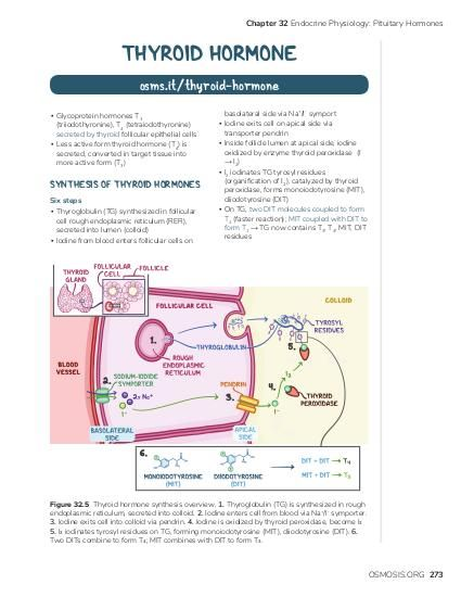 Chapter 32 Endocrine Physiology: Pituitary Hormones  THYROID HORMONE osms.it/thyroid-hormone ▪ Glycoprotein hormones T3 (triiodothyronine), T4 (tetraiodothyronine) secreted by thyroid follicular epithelial cells ▪ Less active form thyroid hormone (T4) is secreted, converted in target tissue into more active form (T3)  ▪ ▪ ▪  SYNTHESIS OF THYROID HORMONES Six steps ▪ Thyroglobulin (TG) synthesized in follicular cell rough endoplasmic reticulum (RER), secreted into lumen (colloid) ▪ Iodine from blood enters follicular cells on  ▪  basolateral side via Na+/I- symport Iodine exits cell on apical side via transporter pendrin Inside follicle lumen at apical side, iodine oxidized by enzyme thyroid peroxidase (I→ I2) I2 iodinates TG tyrosyl residues (organification of I2), catalyzed by thyroid peroxidase, forms monoiodotyrosine (MIT), diiodotyrosine (DIT) On TG, two DIT molecules coupled to form T4 (faster reaction); MIT coupled with DIT to form T3 → TG now contains T3, T4, MIT, DIT residues  Figure 32.5 Thyroid hormone synthesis overview. 1. Thyroglobulin (TG) is synthesized in rough endoplasmic reticulum, secreted into colloid. 2. Iodine enters cell from blood via Na+/I- symporter. 3. Iodine exits cell into colloid via pendrin. 4. Iodine is oxidized by thyroid peroxidase, become I2 5. I2 iodinates tyrosyl residues on TG, forming monoiodotyrosine (MIT), diiodotyrosine (DIT). 6. Two DITs combine to form T4; MIT combines with DIT to form T3.  OSMOSIS.ORG 273
