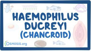 Video poster for Haemophilus ducreyi (Chancroid)
