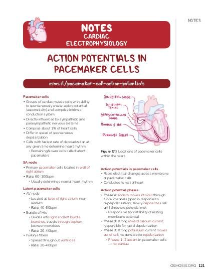 NOTES NOTES  CARDIAC ELECTROPHYSIOLOGY  ACTION POTENTIALS IN PACEMAKER CELLS osms.it/pacemaker-cell-action-potentials Pacemaker cells ▪ Groups of cardiac muscle cells with ability to spontaneously create action potential (automaticity) and comprise intrinsic conduction system ▪ Directly influenced by sympathetic and parasympathetic nervous systems ▪ Comprise about 1% of heart cells ▪ Differ in speed of spontaneous depolarization ▪ Cells with fastest rate of depolarization at any given time determine heart rhythm ▫ Remaining/slower cells called latent pacemakers  Figure 17.1 Locations of pacemaker cells within the heart.  SA node ▪ Primary pacemaker cells located in wall of right atrium ▪ Rate: 60–100bpm ▫ Usually determines normal heart rhythm  Action potentials in pacemaker cells ▪ Rapid electrical changes across membrane of pacemaker cells ▪ Conducted to rest of heart  Latent pacemaker cells ▪ AV node ▫ Located at base of right atrium, near septum ▫ Rate: 40–60bpm ▪ Bundle of His ▫ Divides into right and left bundle branches, travels through septum between ventricles ▫ Rate: 20–40bpm ▪ Purkinje fibers ▫ Spread throughout ventricles ▫ Rate: 20–40bpm  Action potential phases ▪ Phase 4: sodium moves into cell through funny channels (open in response to hyperpolarization); slowly depolarizes cell until threshold potential met ▫ Responsible for instability of resting membrane potential ▪ Phase 0: strong inward calcium current; responsible for rapid depolarization ▪ Phase 3: strong potassium current moves out of cell; responsible for repolarization ▫ Phases 1, 2 absent in pacemaker cells → no plateau  OSMOSIS.ORG 121