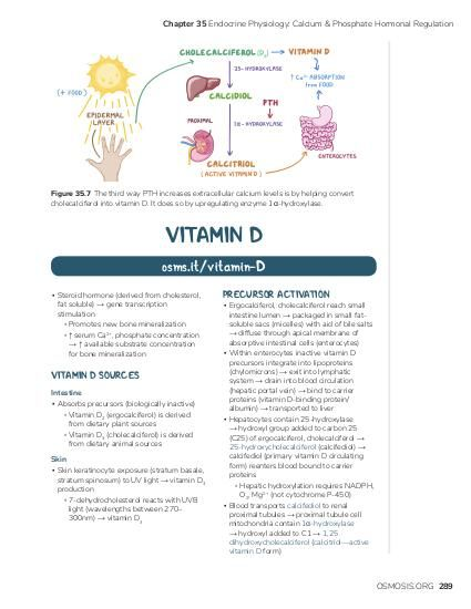 Chapter 35 Endocrine Physiology: Calcium & Phosphate Hormonal Regulation  Figure 35.7 The third way PTH increases extracellular calcium levels is by helping convert cholecalciferol into vitamin D. It does so by upregulating enzyme 1α-hydroxylase.  VITAMIN D osms.it/vitamin-D ▪ Steroid hormone (derived from cholesterol, fat soluble) → gene transcription stimulation ▫ Promotes new bone mineralization ▫ ↑ serum Ca2+, phosphate concentration → ↑ available substrate concentration for bone mineralization  VITAMIN D SOURCES Intestine ▪ Absorbs precursors (biologically inactive) ▫ Vitamin D2 (ergocalciferol) is derived from dietary plant sources ▫ Vitamin D3 (cholecalciferol) is derived from dietary animal sources Skin ▪ Skin keratinocyte exposure (stratum basale, stratum spinosum) to UV light → vitamin D3 production ▫ 7-dehydrocholesterol reacts with UVB light (wavelengths between 270– 300nm) → vitamin D3  PRECURSOR ACTIVATION  ▪ Ergocalciferol, cholecalciferol reach small intestine lumen → packaged in small fatsoluble sacs (micelles) with aid of bile salts → diffuse through apical membrane of absorptive intestinal cells (enterocytes) ▪ Within enterocytes inactive vitamin D precursors integrate into lipoproteins (chylomicrons) → exit into lymphatic system → drain into blood circulation (hepatic portal vein) → bind to carrier proteins (vitamin D-binding protein/ albumin) → transported to liver ▪ Hepatocytes contain 25-hydroxylase → hydroxyl group added to carbon 25 (C25) of ergocalciferol, cholecalciferol → 25-hydroxycholecalciferol (calcifediol) → calcifediol (primary vitamin D circulating form) reenters blood bound to carrier proteins ▫ Hepatic hydroxylation requires NADPH, O2, Mg2+ (not cytochrome P-450) ▪ Blood transports calcifediol to renal proximal tubules → proximal tubule cell mitochondria contain 1α-hydroxylase → hydroxyl added to C1 → 1,25 dihydroxycholecalciferol (calcitriol—active vitamin D form)  OSMOSIS.ORG 289