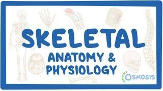 Video poster for Skeletal system anatomy and physiology